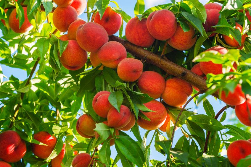 Healthy Fruit Trees in Utah